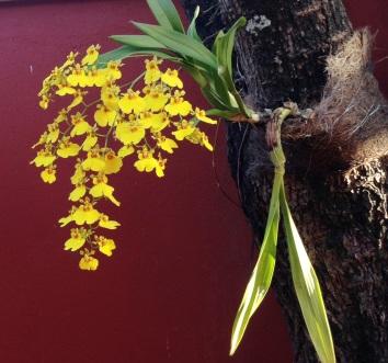 orquidea amarela